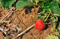 Red strawberrie at the garden Stock Image
