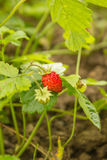 Red strawberries. Bush of strawberries growing in the ground Stock Photos