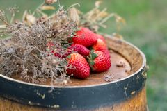 Red strawberries, dry grass on a wooden wine barrel in the garden in springtime. stock images