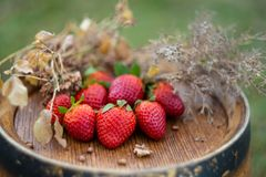 Red strawberries and dry grass on a wooden wine barrel. In the garden in springtime. Fruits on a wooden surface in orchard in summer. Nature wallpaper royalty free stock photos
