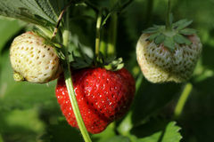 red strawberries in garden Royalty Free Stock Image