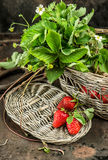 Red strawberries, green leaves ans spring flowers. Retro style Stock Image