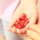Red strawberries in hand Stock Photo