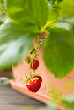 Red strawberries hanging from pot Stock Image