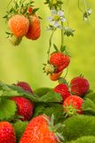 Red strawberries hanging Stock Photos