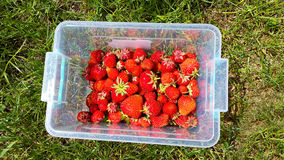 Red strawberries in plastic container on grass Stock Image