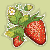 Red strawberries.Vector illustration Stock Image
