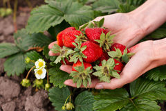 Red strawberries in the woman hands Stock Photo