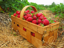 Red strawberries in a wooden basket royalty free stock photography