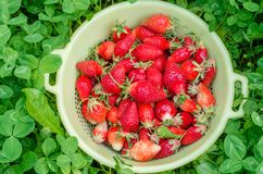 Red strawberries in a yellow bowl. Freshly picked organic strawberries from the home garden. Green background of clover. Natural stock images