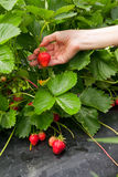 Red strawberry Stock Image