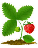 Red strawberry fruit with green leafs vector illustration