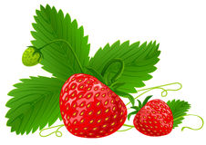 Red strawberry fruits with green leafs Royalty Free Stock Photos
