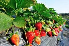 Red strawberry fruits Stock Photo