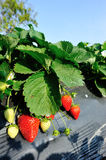 Red strawberry fruits Stock Photography