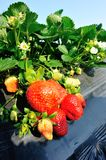 Red strawberry fruits Royalty Free Stock Images