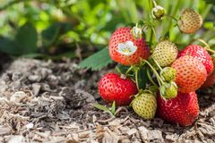Red strawberry fruits and unripe white,. On a strawberry bush with a flower growing on a bed with green leaves Stock Photos