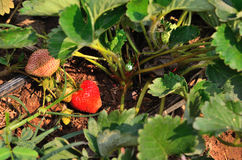 Red strawberry at the garden Stock Images