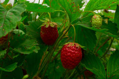 Red strawberry in green foliage Stock Photo