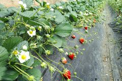 RED Strawberry and green leaves in the field, stock photos