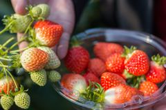 A closeups of a woman showing strawberries while plucking it. Red strawberry, green strawberry all korean strawberry. Plugged strawberries are put into a plstic royalty free stock images
