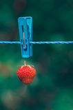 Red strawberry hanging on rope with clothespin Stock Photos