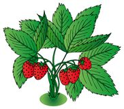 Red strawberry with leaves Royalty Free Stock Photos