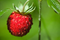 Red strawberry Stock Photography