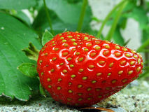 Red Strawberry on Plant Closeup. Fresh red strawberry on Plant Stock Photos