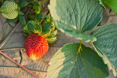 Red strawberry plant. Red strawberry grow in garden Royalty Free Stock Photos
