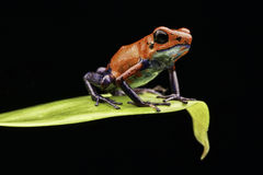 Red strawberry poison dart frog Costa rica Royalty Free Stock Photos