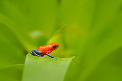 Red Strawberry poison dart frog, Dendrobates pumilio, in the nature habitat, Costa Rica. Close-up portrait of poison red frog. Rar Stock Photos