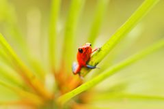Red Strawberry poison dart frog, Dendrobates pumilio, in the nature habitat, Costa Rica. Close-up portrait of poison red frog. Rar. E Amphibian in the tropic royalty free stock images