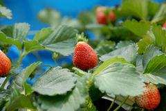Red strawberry on a tree in farm Stock Images