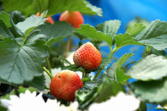 Red strawberry on a tree in farm Royalty Free Stock Image