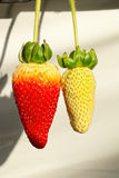 Red strawberry and yellow strawberry. 7th International Strawberry Symposium Royalty Free Stock Photos