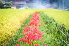 Red Streak of Spider Lilies Royalty Free Stock Photography