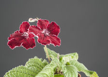 Red streptocarpus flower Stock Photo