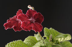 Red streptocarpus flower Royalty Free Stock Photography