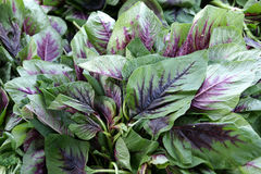Red stripe amaranth, Amaranthus tricolor red stripe. Amaranthus gangeticus, cultivated leafy vegetable with red-purple stripes originating from midveins royalty free stock images