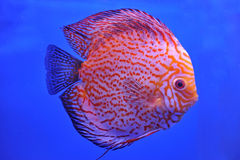 Red Stripe Pigeon Blood Discus Stock Photo