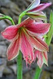 Red-striped amaryllis blooms on tall stalks. Brilliant red stripes radiate outward off of the palest of green flower petals of these breathtaking amaryllis. This royalty free stock image