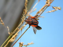 Red striped bug Royalty Free Stock Images