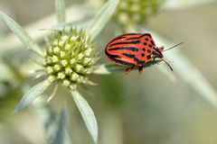 Red striped bug on thistle Royalty Free Stock Photos
