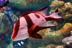 Red striped fish Stock Photos