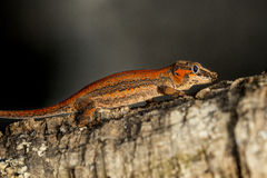 Red striped Gargoyle gecko on a branch Royalty Free Stock Images