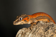 Red striped Gargoyle gecko on a tree trunk Royalty Free Stock Image