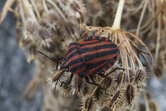 Red striped Graphosoma lineatum/Graphosoma semipunctatum Royalty Free Stock Photography