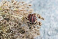 Red striped Graphosoma lineatum/Graphosoma semipunctatum Stock Photo