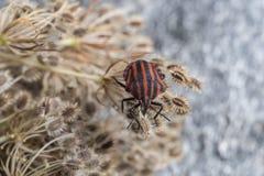 Red striped Graphosoma lineatum/Graphosoma semipunctatum Stock Photography